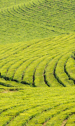 Tea plantation, Honde Valley, Zimbabwe. © Andrew Ashot