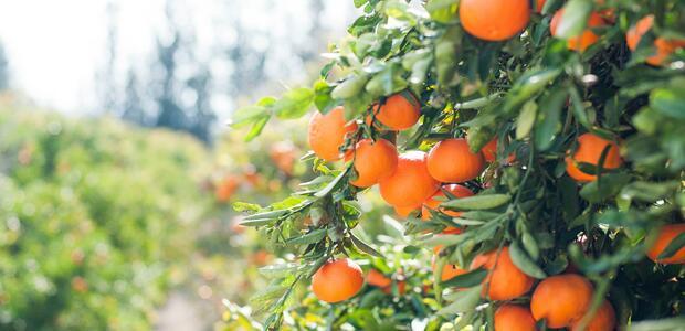 Unsplash / citrus tree